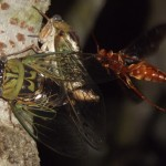 Locust Invasion and a Wasp