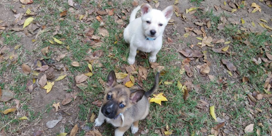 German Husky Puppies